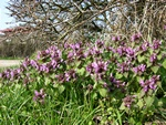 Rd Tvetand (Lamium purpureum var. purpureum)